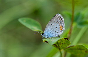 Short-tailed Blue / Tailed Cupid (Cupido argiades) with wings closed, South Karelia, southern Finland, July.  -  Jussi  Murtosaari