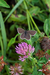Short-tailed Blue / Tailed Cupid (Cupido argiades) female on clover, South Karelia, southern Finland, July.  -  Jussi  Murtosaari