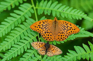 Silver Washed Fritillary butterfly (Argynnis paphia) male and Small Pearl-bordered Fritillary butterfly (Boloria selene) Finland, July.  -  Jussi  Murtosaari