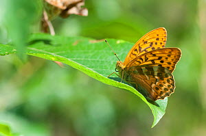 Silver Washed Fritillary butterfly (Argynnis paphia) male on leaf, Finland, July. - Jussi  Murtosaari