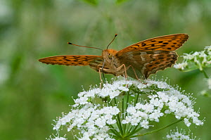 Silver Washed Fritillary butterfly (Argynnis paphia) male feeding on umbellifer flowers, Finland, July. - Jussi  Murtosaari