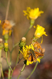 Silver-spotted Skipper butterfly (Hesperia comma) male on hawkbit flower, Finland, August. - Jussi  Murtosaari