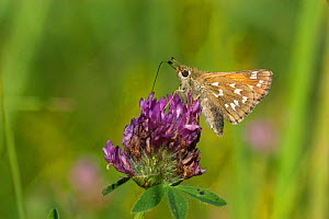 Silver-spotted Skipper (Hesperia comma) female feeding on clover, Finland, August. - Jussi  Murtosaari