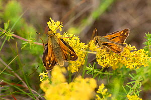 Silver-spotted Skipper (Hesperia comma) female and male on flower, Finland, July. - Jussi  Murtosaari
