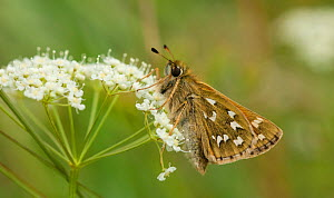 Silver-spotted Skipper (Hesperia comma) female on flower, Finland, July. - Jussi  Murtosaari