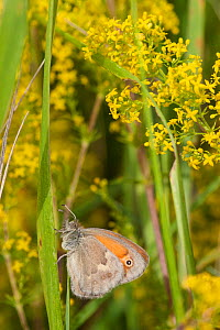 Small Heath (Coenonympha pamphilus) is a butterfly species belonging to family Nymphalidae, gen. II, Aland Islands, Finland, August. - Jussi  Murtosaari