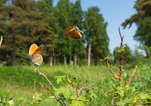 Small Heath (Coenonympha pamphilus) two males fighting in habitat, Aland Islands, Finland, June.  -  Jussi  Murtosaari