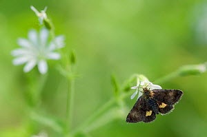 Small Yellow Underwing moth (Panemeria tenebrata) on stitchwort (Stellaria) South Karelia, southern Finland, June.  -  Jussi  Murtosaari