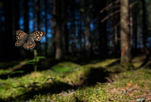 Speckled Wood (Pararge aegeria) male flying in habitat, Finland, April.  -  Jussi  Murtosaari
