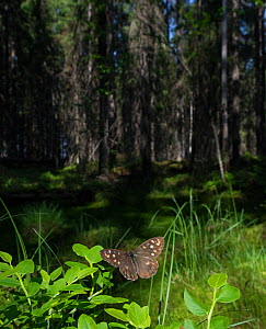Speckled Wood (Pararge aegeria) male in habitat, Finland, April.  -  Jussi  Murtosaari