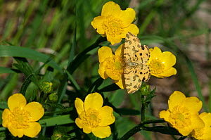 Speckled Yellow (Pseudopanthera macularia) butterfly on buttercup, Siuntio, south southern Finland, June.  -  Jussi  Murtosaari