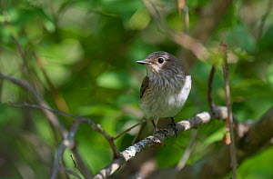 Spotted Flycatcher (Muscicapa striata) perched, South Karelia, southern Finland, June.  -  Jussi  Murtosaari