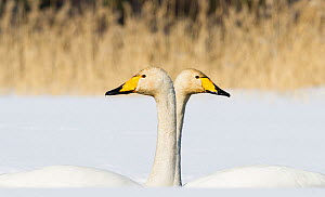 Whooper Swan (Cygnus cygnus) male and female facing in opposite directions, central Finland, April.  -  Jussi  Murtosaari