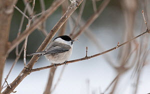 Willow Tit (Poecile montanus borealis) with deformed beak, central Finland, March.  -  Jussi  Murtosaari