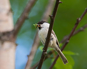 Willow Tit (Poecile montanus borealis) nesting adult with food for chicks, South Karelia, southern Finland, June.  -  Jussi  Murtosaari