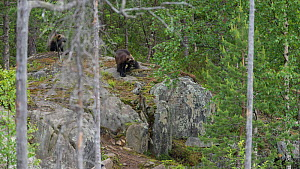 Wolverine (Gulo gulo) in forest, northern Finland, June. - Jussi  Murtosaari
