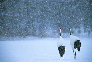 Red-crowned crane (Grus japonensis) pair in a snowstorm, Hokkaido, Japan. Endangered species. - Tim  Laman