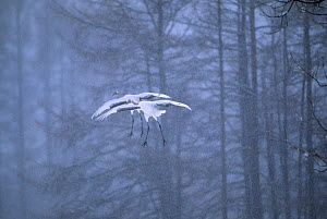 Two Red-crowned cranes (Grus japonensis) in flight in snow, Japan.  -  Tim  Laman