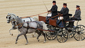 Two Lipizzaner stallions pulling carriages, Annual Autumn Parade, Piber Federal Stud, Maria Lankowitz, Koflach, Styria, Austria, September 2013. Editorial use only.  -  Kristel  Richard