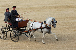 Lipizzaner stallion pulling a carriage, Annual Autumn Parade, Piber Federal Stud, Maria Lankowitz, Koflach, Styria, Austria, September 2013. Editorial use only.  -  Kristel  Richard