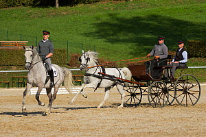 Two Lipizzaner stallions, one pulling a carriage, the other being ridden, Annual Autumn Parade, Piber Federal Stud, Maria Lankowitz, Koflach, Styria, Austria, September 2013. Editorial use only.  -  Kristel  Richard