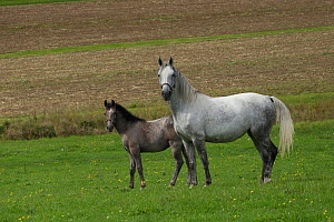 A Lipizzaner breeding mare and foal standing, Piber Federal Stud, Maria Lankowitz, Koflach, Styria, Austria, September. Editorial use only.  -  Kristel  Richard
