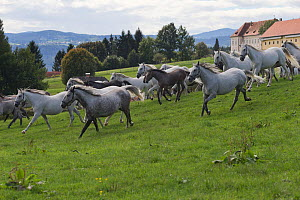 Lipizzaner breeding mares and foals running in front of the Piber Federal Stud, Maria Lankowitz, Koflach, Styria, Austria, September. Editorial use only.  -  Kristel  Richard