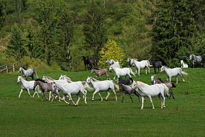 Lipizzaner breeding mares and foals running, Piber Federal Stud, Maria Lankowitz, Koflach, Styria, Austria, September. Editorial use only.  -  Kristel  Richard