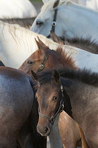 Lipizzaner foal in group of mares and other foals, Piber Federal Stud, Maria Lankowitz, Koflach, Styria, Austria, September. Editorial use only.  -  Kristel  Richard