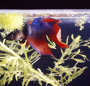 Siamese fighting fish (Betta splendens) male displaying to a female under his bubble nest, captive from Malaysia and Thailand.  -  Jane Burton