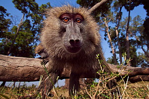Olive baboon (Papio anubis) approaching with curiosity. Masai Mara National Reserve, Kenya. Taken with remote wide angle camera.  -  Anup Shah