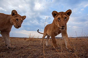 Lion (Panthera leo) cubs aged about 12 months approaching with curiosity. Masai Mara National Reserve, Kenya. Taken with remote wide angle camera. - Anup Shah