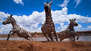 Common or Plains zebra herd crossing the Mara River - wide angle perspective (Equus quagga burchellii). Masai Mara National Reserve, Kenya. Taken with remote wide angle camera.  -  Anup Shah