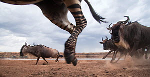 Eastern white-bearded wildebeest (Connochaetes taurinus) and Common or Plains Zebra (Equus quagga burchellii) mixed herd running. Masai Mara National Reserve, Kenya. Taken with remote wide angle camer...  -  Anup Shah