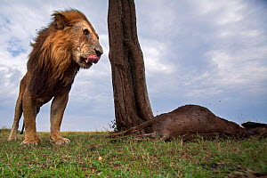Lion (Panthera leo) old male with one eye standing next to a kill. Masai Mara National Reserve, Kenya. Taken with remote wide angle camera. - Anup Shah