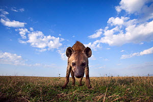 Spotted hyena (Crocuta crocuta) approaching with curiosity. Masai Mara National Reserve, Kenya. Taken with remote wide angle camera. - Anup Shah