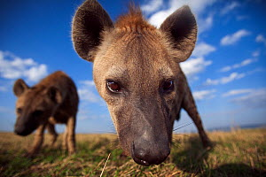 Spotted hyenas (Crocuta crocuta) approaching with curiosity. Masai Mara National Reserve, Kenya. Taken with remote wide angle camera.  -  Anup Shah