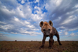 Spotted hyena (Crocuta crocuta) pup approaching with curiosity. Masai Mara National Reserve, Kenya. Taken with remote wide angle camera.  -  Anup Shah