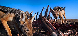 Black-backed jackals (Canis mesomelas) feeding on a wildebeest carcass. Masai Mara National Reserve, Kenya. Taken with remote wide angle camera.  -  Anup Shah