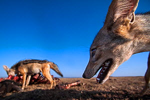 Black-backed jackals (Canis mesomelas) feeding on a wildebeest carcass - wide angle perspective Masai Mara National Reserve, Kenya. Taken with remote wide angle camera. - Anup Shah