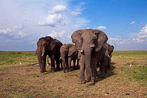 African elephant (Loxodonta africana) herd in the savanna. Masai Mara National Reserve, Kenya. Taken with remote wide angle camera. - Anup Shah