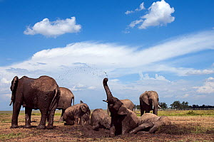 African elephants (Loxodonta africana) wallowing in a waterhole. Masai Mara National Reserve, Kenya. Taken with remote wide angle camera. - Anup Shah