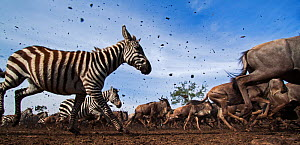 Common or plains zebra (Equus quagga burchelli) and Eastern white-bearded wildebeest (Connochaetes taurinus) mixed herd running. Masai Mara National Reserve, Kenya. Taken with remote wide angle camera... - Anup Shah