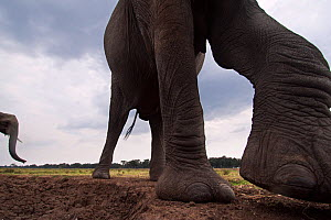 African elephant (Loxodonta africana) close-up. Masai Mara National Reserve, Kenya. Taken with remote wide angle camera. - Anup Shah