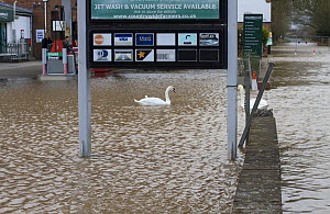 Mute swan (Cygnus olor) swimming in flooded petrol station during February 2014 floods, Upton upon Severn, Worcestershire, England, UK, 8th February 2014.  -  David  Woodfall
