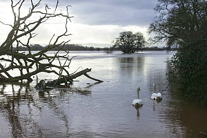 Mute Swan (Cygnus olor) pair in flooded agricultural land adjacent to River Severn, 10th February 2014. - David  Woodfall