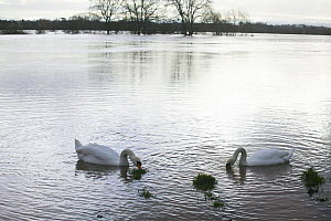 Mute Swan (Cygnus olor) pair feeding in flooded agricultural land adjacent to River Severn, 10th February 2014. - David  Woodfall