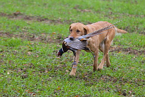 Yellow labrador retrieving a shot Common pheasant (Phasianus colchicus), Norfolk, England, UK, December. - Ernie  Janes