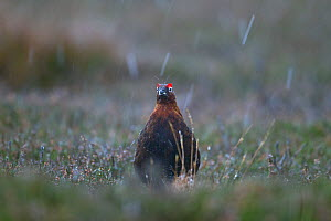 Male Red grouse (Lagopus scoticus) in falling snow, with a flake landing on its head, Yorkshire Dales National Park, Yorkshire, England, UK, November. - Ernie  Janes