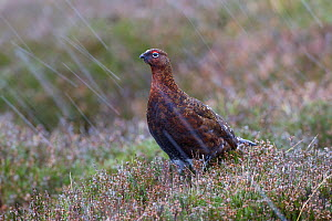 Female Red grouse (Lagopus scoticus) in falling snow, Yorkshire Dales National Park, Yorkshire, England, UK, November. - Ernie  Janes